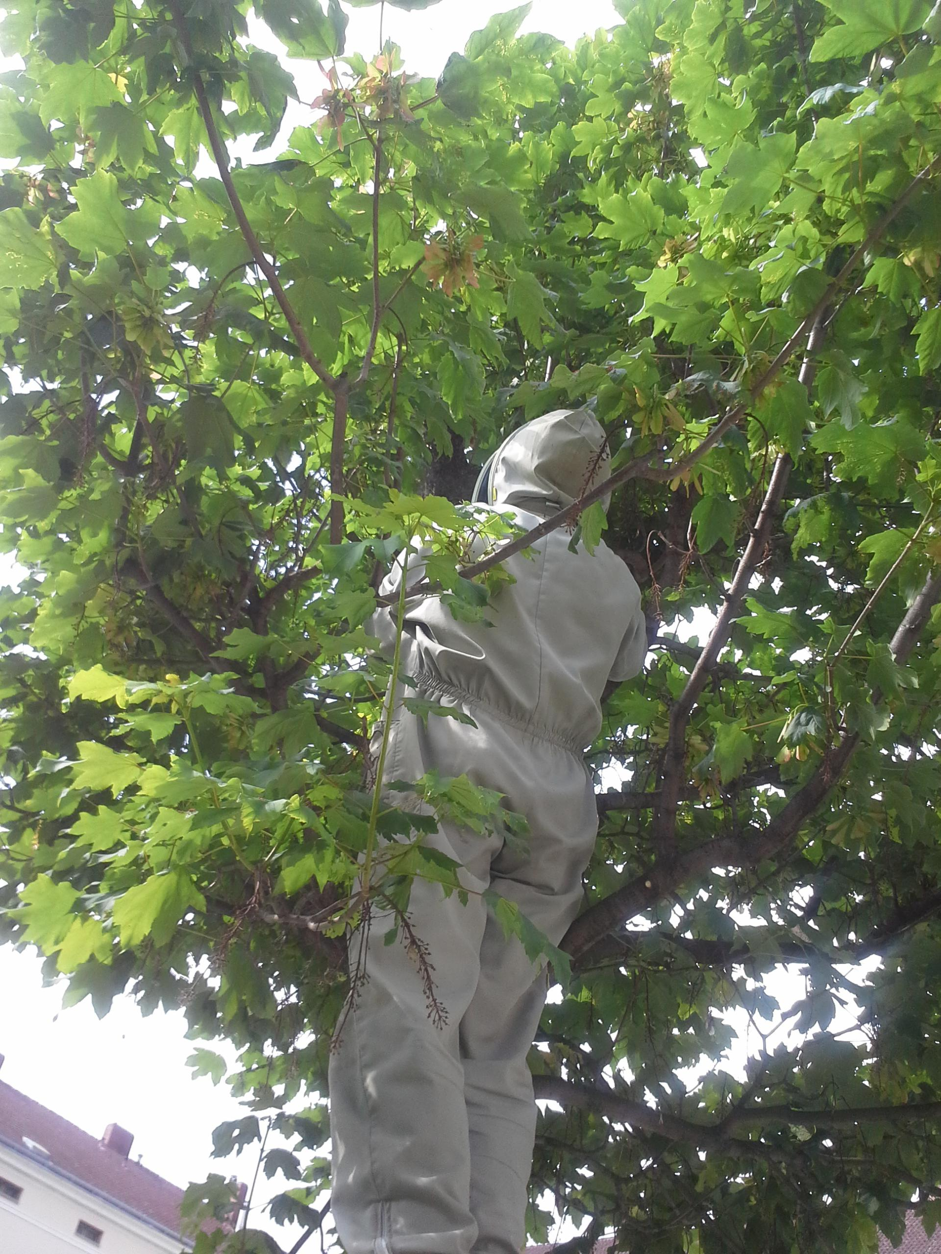 mannimbaum