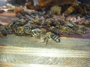 Bienenpatenschaft für ein Bienenvolk