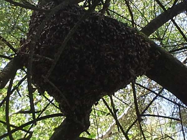 Honigwerkstatt Bienenschwarm