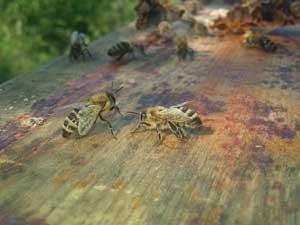 Honigbienen der Honigwerkstatt
