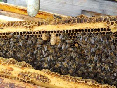 Honigwerkstatt Marillen Bienen und Bienenkönigin