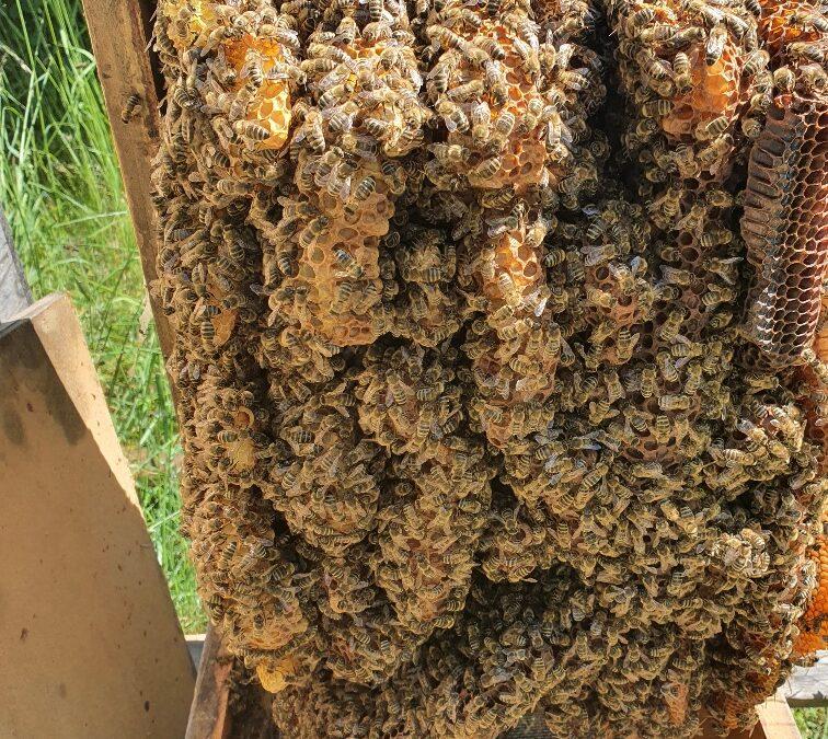 Unsere Bienen im kalten Mai, heißer Juni! 2021